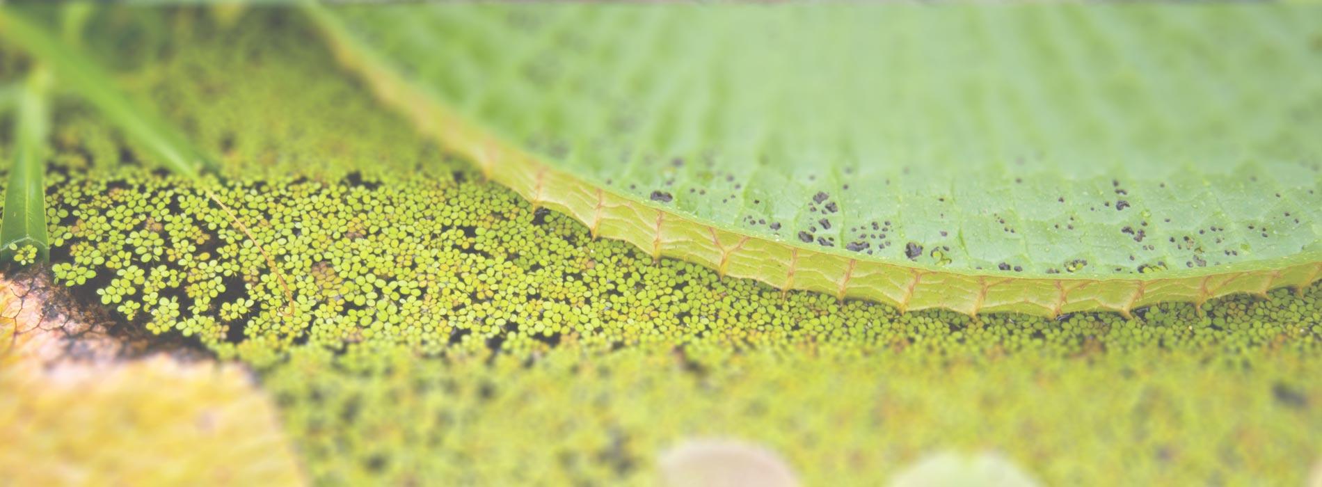 Slider-06-Wasserlilien